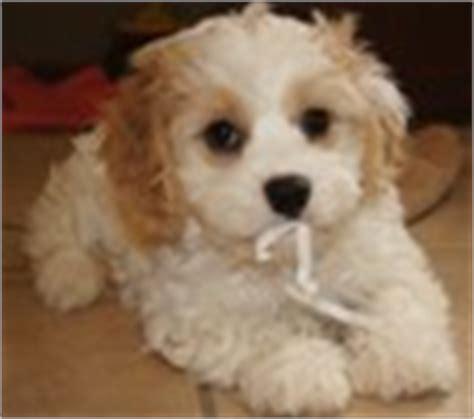 cavachon puppies for sale mn cavachon puppies for sale cavachon breeders