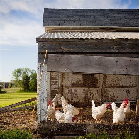 Hühnerhaltung Im Garten