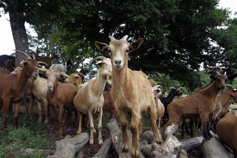 de cabras la cabra tira a gunt 237 n