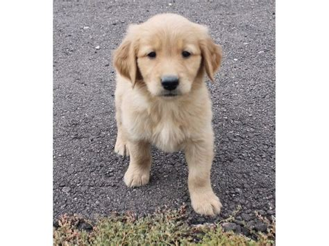 golden retriever puppies for sale in vermont playful golden retriever puppies animals barton vermont announcement 35947