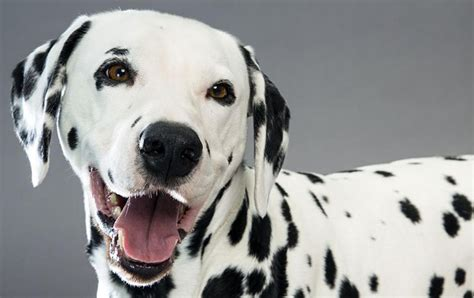 perros todas clases razas de perros todas las razas con im 225 genes