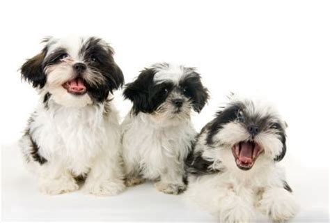 tea cup shih tzu puppies about the shih tzu poodle mix breed