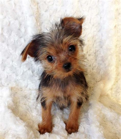 teacup yorkie for sale california iheartteacups teacup yorkie puppy for sale los angeles california quot lala pics