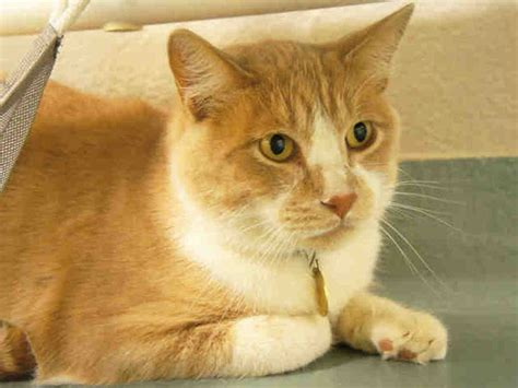 adopt a denver adopt a cat at the denver dumb friends league for 10 this month photos huffpost