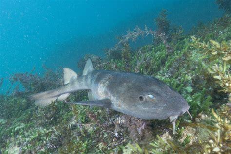 Sharks Are Blind blind shark pictures images of brachaelurus waddi