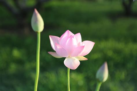 fiore loto fiore di loto