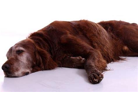 wann wird ein hund eingeschläfert hundesenioren richtig ern 228 hren