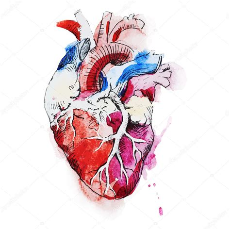 watercolor human heart stock vector 169 zeninaasya 76871939