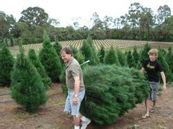 dural christmas tree farm christmas trees real