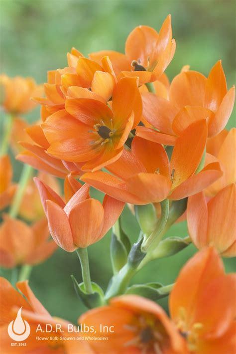 ornithogalum dubium orange ornithogalum  adr bulbs