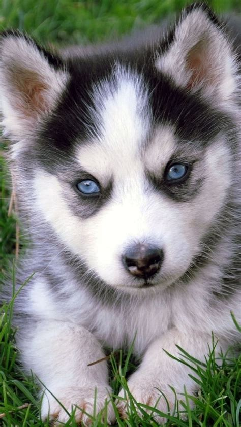 husky puppy facts 239 best images about pets on and the walk
