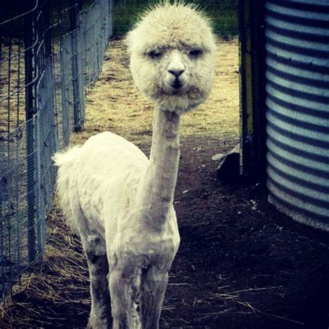 funny shaved alpaca.   humor   Pinterest   Shaved Alpaca