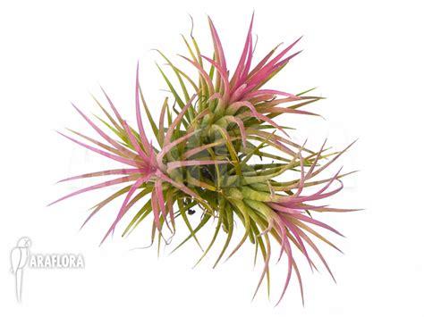 Tillandsia Blushing araflora flora more blushing tillandsia