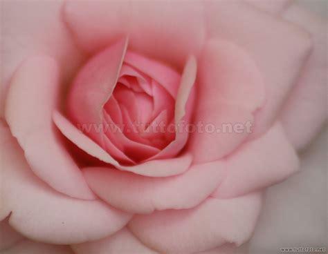 foto artistiche fiori foto fiori romantica rosa rosa gt tuttofoto net foto