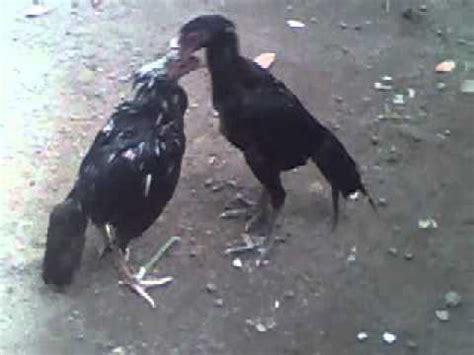Bibit Ayam Bangkok Impor bibit ayam jantan betina bangkok aduan jawara babon jago