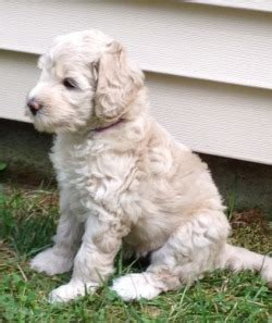 labradoodle puppies ma breeders in massachusetts