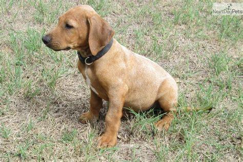rhodesian ridgeback puppies price rhodesian ridgeback puppy for sale near east tx 178cdbd0 04c1