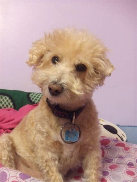 half poodle half yorkie terrier poodle mix hairstylegalleries