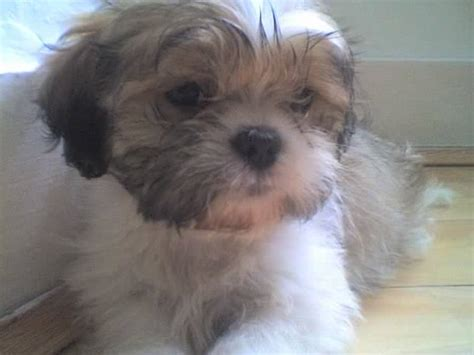 shih tzu for adoption shih tzu puppies for sale for sale adoption from stratford adpost