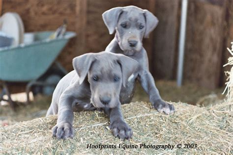 blue great dane puppy blue great dane v fan great dane