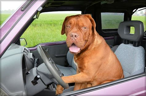 driving dogs national day dogs to ride in cars almost as much as auto