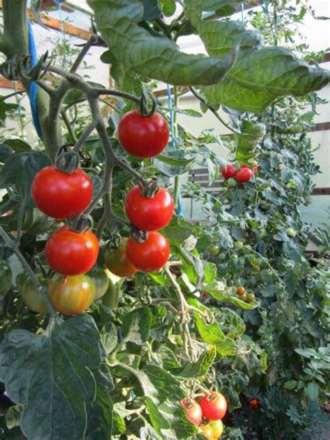 Dach F R Tomaten 866 by Regenschutz F 252 R Tomaten Tomatendach Als Regenschutz