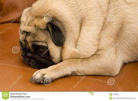 pug on couch cute pug on couch stock images image 7290984
