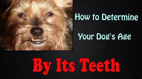 dogs age by teeth how to determine your s age by it s teeth