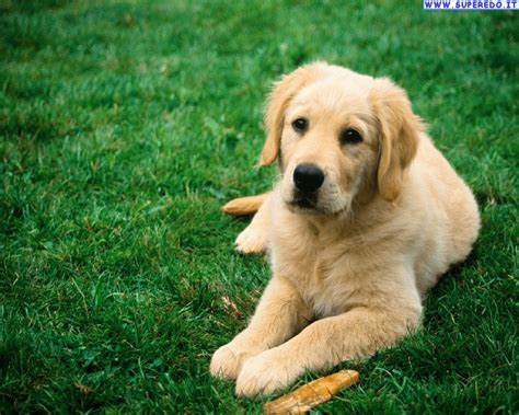 picture of golden retriever sfondi gt gt cani gt gt immagini golden retriever 24