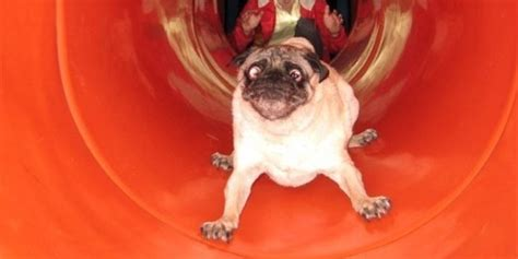 pug uk pugs on slides compilation huffpost uk
