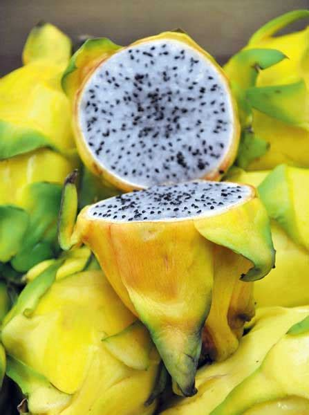 Bijibenihbibit Buah Naga Mix 1 coba tanam yuk cara menanam benih buah naga
