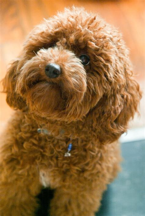 red toy toy poodle red www imgkid com the image kid has it