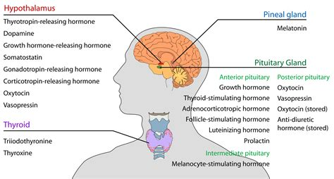 Endocrinologist Description by Holistic Guide To Healing The Endocrine System And Balancing Our Hormones