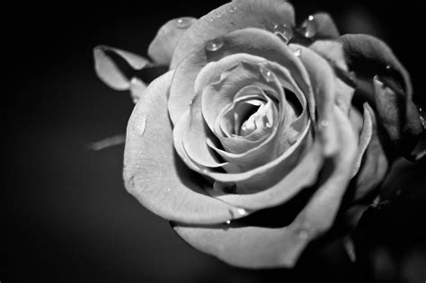 wallpaper grey roses black and white roses wallpapers wallpaper cave