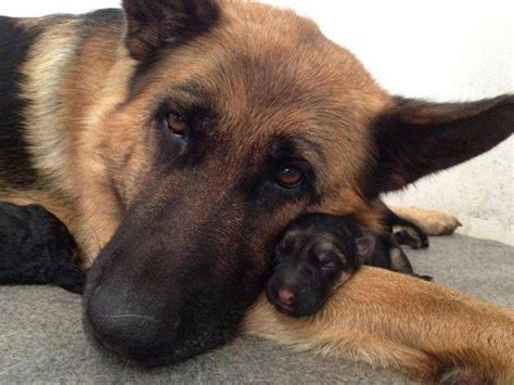 baby german shepherd puppies 16 reasons german shepherds are not the friendly dogs everyone says they are