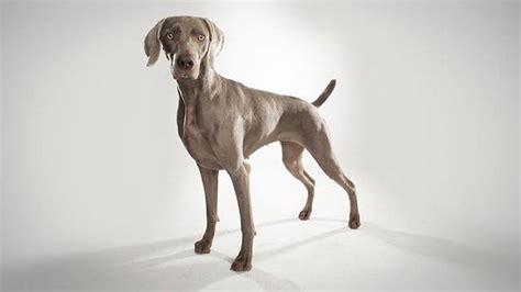 breed weimaraner weimaraner dogs 101 animal planet