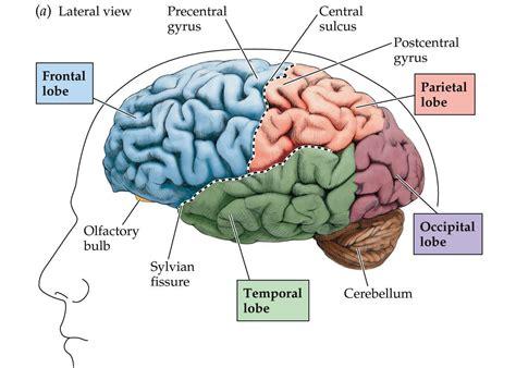 the brain diagram designcanes brain facts and neuroscience