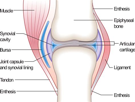 parts of knee diagram diagram typical synovial joint