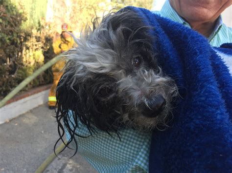 dog house restaurant pasadena firefighters rescue resuscitate dog after pasadena house fire pasadena star news