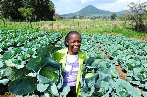 Green Kitchen Storeis - the abcd of cabbage farming in kenya farmers trend