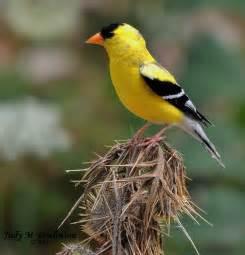 yellow finch wildlife shots by judy m tomlinson pinterest