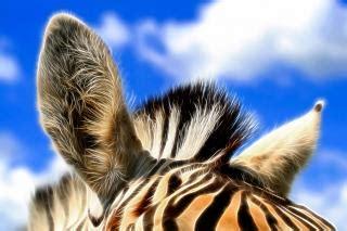 zebra ears abstract photo