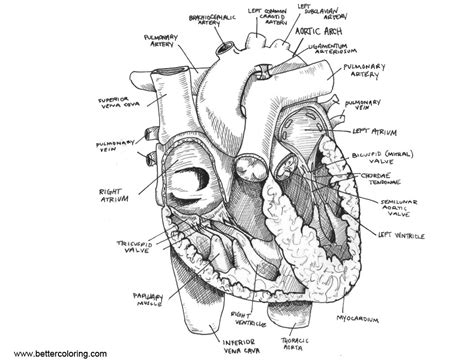 anatomy coloring pages anatomy coloring pages sketch free printable