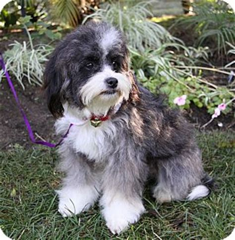 shih tzu and havanese mix adopted newport ca havanese shih tzu mix