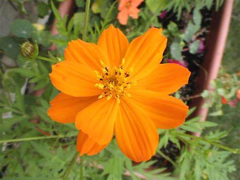 in my garden cosmos dance in your garden