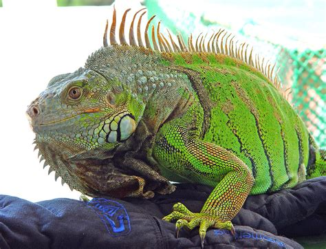 imagenes de iguanas rojas iguana iguana wikipedia la enciclopedia libre