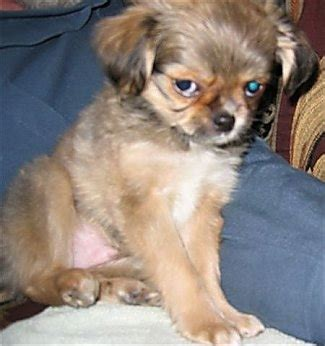 shih tzu mixed with chihuahua shih tzu chihuahua mix a k a shichi breed info 21 pictures animalso