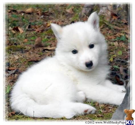wolf husky puppies image wolf husky pups wolf a2012101019339 jpg youngonespack wiki