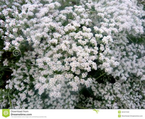 shrub with small white flowers in eriogonum giganteum st catherine s lace stock photo