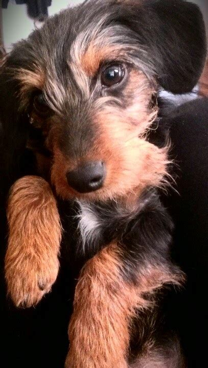 short haired dorkie mixes 21 best yorkie dachshund mix aka dorkie images on